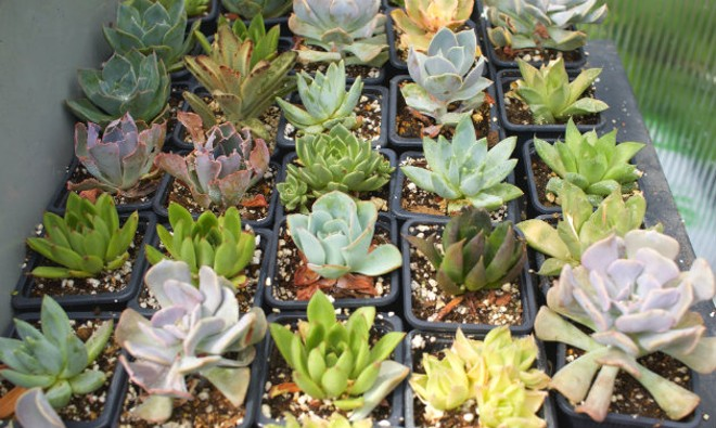A variety of succulents are available. - CHERYL BAEHR