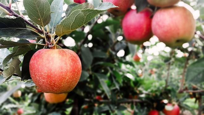 Behold, your new favorite apple: the EverCrisp. - COURTESY OF ECKERT'S INC.