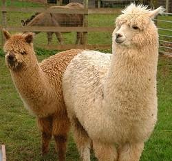 Some wild animal has a taste for alpacas.