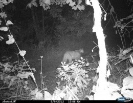 ROWR! Another mountain lion was prowling in Shannon County last week - MISSOURI DEPARTMENT OF CONSERVATION