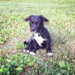 Persie the puppy