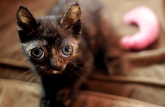 Chryssi the kitten was taken in by Tenth Life Cat Rescue after she was found by a homeless man. - DANNY WICENTOWSKI
