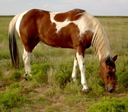A paint horse like this one was apparently sexually assaulted. - VIA WIKIMEDIA COMMONS