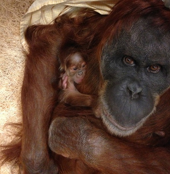 Merah and her new baby. - STEPHANIE BRACCINI, SAINT LOUIS ZOO