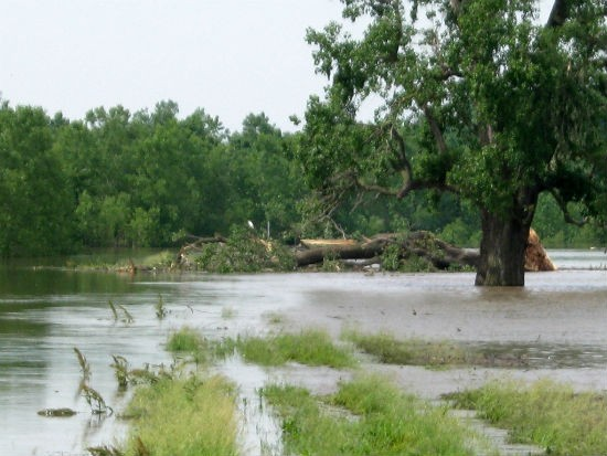Toppled tree. - MISSOURI DEPARTMENT OF CONSERVATION