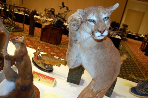 A confused mountain lion. View more photos here.