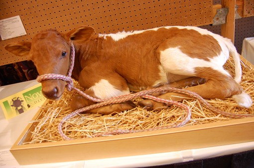 A (permanently) resting calf. View more photos.