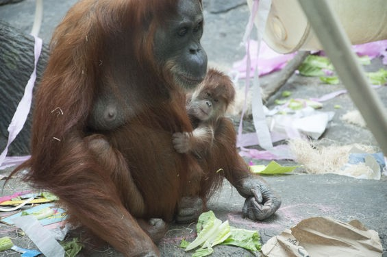 orangutanbabycute_micahusher.jpg