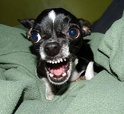 Killer Chihuahua! - WIKIMEDIA COMMONS