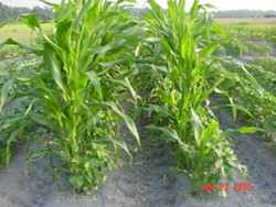 Roundup-Ready corn -- what should happen when it volunteers on organic fields? - IMAGE VIA