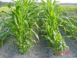 Roundup-Ready corn -- what should happen when it volunteers on organic fields? - IMAGE VIA
