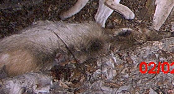 dead_elk.jpg