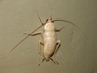 The great white cockroach lives!