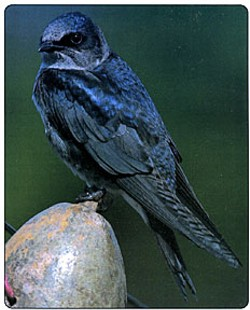 Hubba hubba: an adult female. - PURPLEMARTIN.ORG