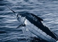 Atlantic_blue_marlin.jpg