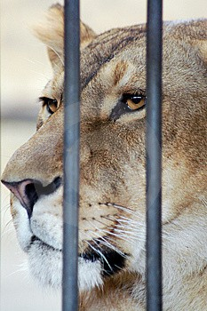lion_in_cage.jpg