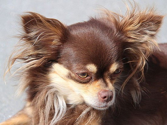 File photo of a chihuahua. - VIA