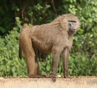 Not the actual Florissant baboon.