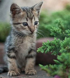A tiny kitten like this one was found dead in St. Louis. - VIA WIKIMEDIA COMMONS
