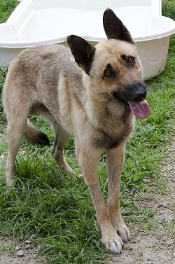 Shep stands! - STRAY RESCUE