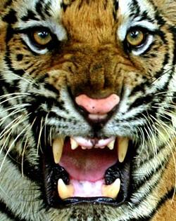 tigercloseup.jpg