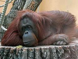 Orangutan at Rest: How very stereotypical.