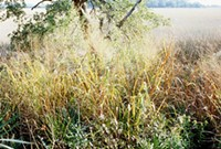 Switchgrass & plastic: Not your daddy's weed - WIKIMEDIA COMMONS