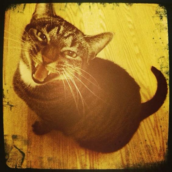 Cricket the cat, a future star. - CHRIS WARD