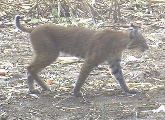 Bobcat_on_Deer_Cam_cropped560.jpg