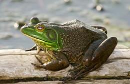 The whole frogging season begins tonight. - IMAGE VIA