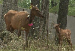 Cow elk and calf in the Peck Ranch holding pen, awaiting re-release into the wild in June 2012. - COURTESY MISSOURI DEPARTMENT OF CONSERVATION