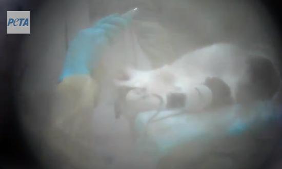 VIA PETA VIDEO.