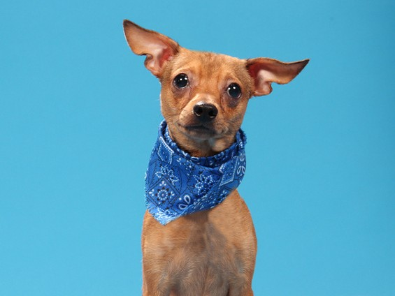 Sorry, folks, Chase has already been adopted. - PHOTOS COURTESY OF HUMANE SOCIETY OF MISSOURI