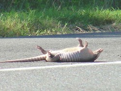An armadillo in its natural state.