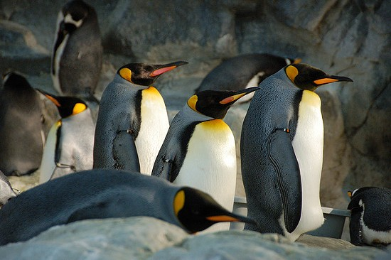 The Saint Louis Zoo penguins are webcasting, and we might just watch forever. - HERKIE ON FLICKR