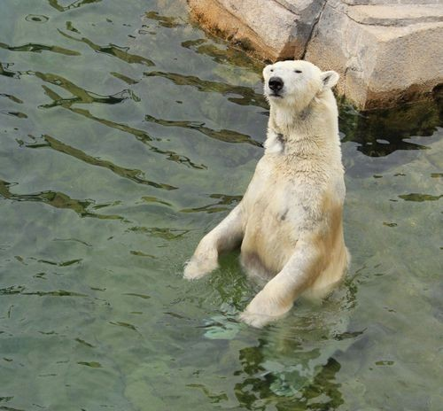 Everyone wants a polar bear at their zoo, it seems. - KANSAS CITY ZOO
