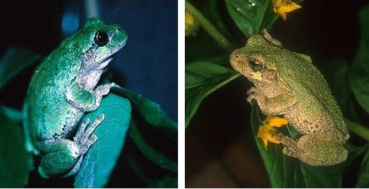 The two tree frogs. The eastern grey is on the left.