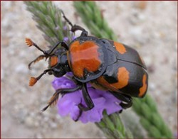 The American Burying Beetle, not eating a corpse.
