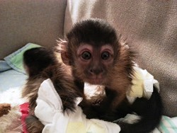 The missing black cap Capuchin monkey. - GRAND JUNCTION POLICE DEPARTMENT
