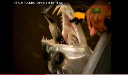 Good God, Myrtle! It's an cannibal piranha! - COURTESY OF ANIMAL PLANET