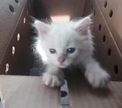 Frank Sinatra, a seven-week-old kitten. - OPEN DOOR ANIMAL SANCTUARY
