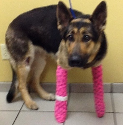 "Lindey, Kansas City's ""miracle dog"" also thrown on a highway. - MISSOURI GERMAN SHEPHERD RESCUE"