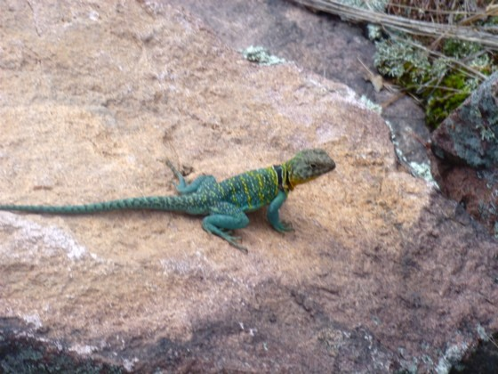 The collared lizard, a species previously reintroduced to Missouri. Not megafauna, but charismatic nonetheless. - AIMEE LEVITT