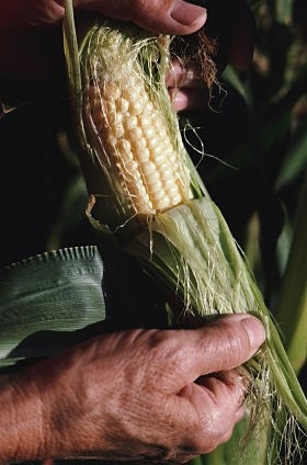 Glenn, it may look like something else, but really, sometimes corn is just corn. - MONSANTO