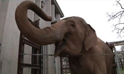 Patience, the elephant who killed zookeeper John Bradford on Friday. - KY3 NEWS