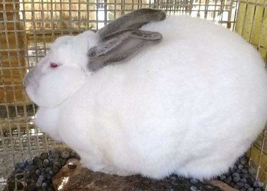 Rabbits on Muessemeyer's property were housed in cages steeped in feces, says the Humane Society. - HSMO