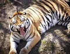The U. City Tiger - FLICKR.COM/PHOTOS/MOHISTORY