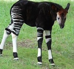 Umeme the okapi. - KIM DOWNEY / SAINT LOUIS ZOO
