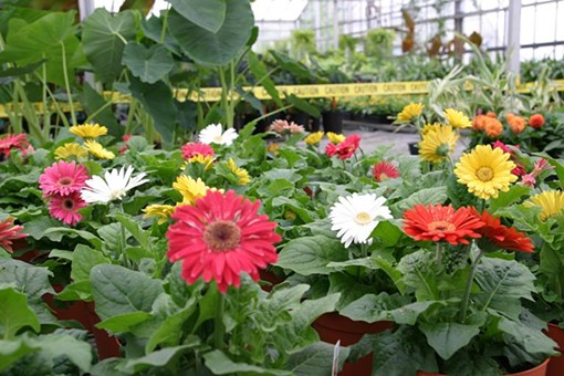 Gerbera Flowers - so pretty! About to get devoured by old ladies. - PHOTO BY NICHOLAS PHILLIPS