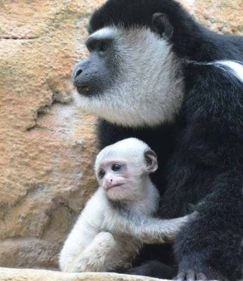 Monkeys at the Saint Louis Zoo Primate House. - PHOTO BY ROBIN WINKELMAN/ SAINT LOUIS ZOO
